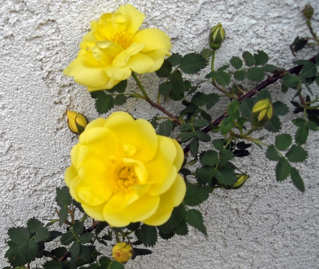 It is a lovely old fashioned yellow climbing rose with a soft, floral scent.