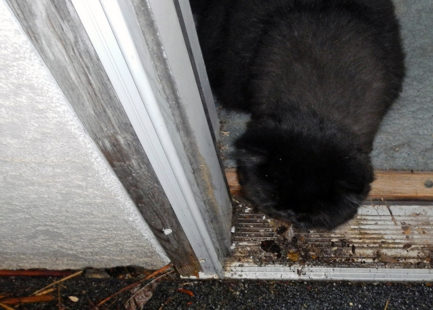 I held the door open. Dougy came out long enough to feel one or two raindrops on his head, then he scampered back inside.