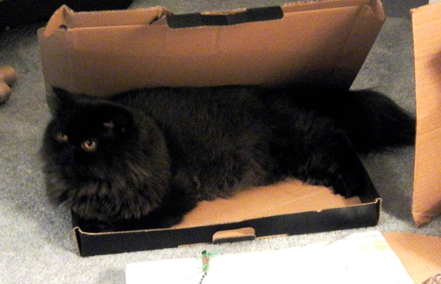 Waiting for the Neko toy centipede...that is in front of the box...silly cat!