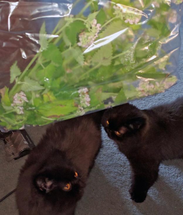 """""""Catnip, boy! Catnip!"""" The kitties come running."""