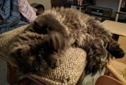 Dougy sprawled on his ottoman, of course.