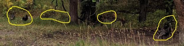 six wild turkeys